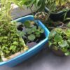 ホテイ草の育て方